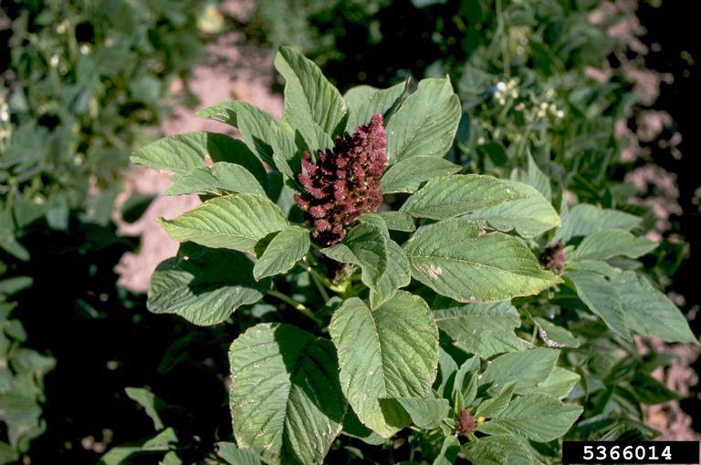Amaranthus spp.